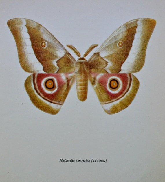 Nudaurelia zambezina. Moth print. Vintage color  book plate. Old print. Butterflies. 1966. 8 x 10'1 inches . Butterfly print.
