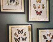 Original Butterfly Classification Poster Framed Print Wall Art Picture Lepidoptera Antique Poster Study of Butterflies Caterpillar