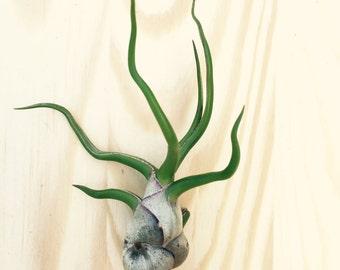 Tillandsia bulbosa air plant - indoor outdoor houseplant small