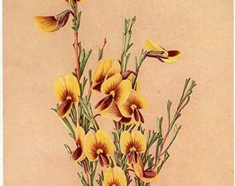 Antique Print, FLOWERING AUSTRALIAN PLANTS, chart 59 1930 beautiful wall art vintage color lithograph illustration wild flowers floral