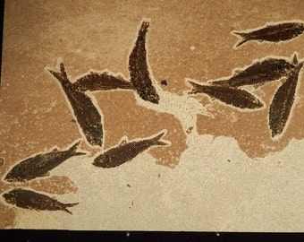 A School of TEN! Natural 50 Million Year Old Fish Fossils BIG Matrix Wy 3355gr e