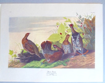 "Audubon colored print ""Spruce Grouse"" engraved by R. Havell 1833"