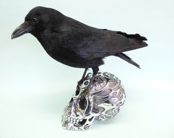 TAXIDERMY CROW on metallic human skull. Log no 9455. Height 36cm. Raven family.