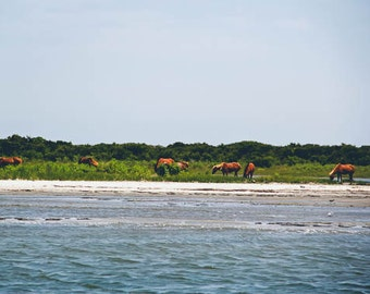 Assateague Island Wild Horses Grazing on the Beach in Ocean City Maryland, Photography Fine Art Print, FREE SHIPPING