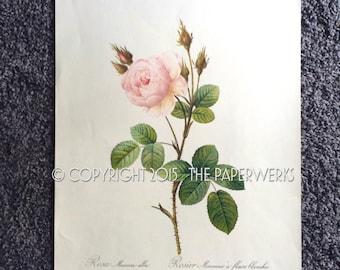 """Large Pierre-Joseph Redoute """"Rosa Muscosa Alba"""" """"Rosier Mousseux A Fleurs Blanches"""" Botanical Print  40cm X 30cm  circa 1940s-1950s"""