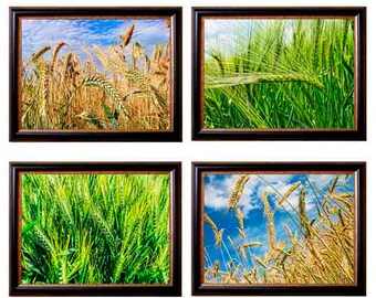 Farming Photography Wheat Field Wheat Print Wheat Picture Farming Print Wheat Crop Art Picture of Wheat Decorative Farm Wheat Photo wheat