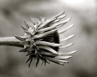 Black and White Coneflower 8x10 print