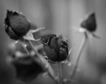 "Budding Roses - 16"" x 12"" Photographic Print"
