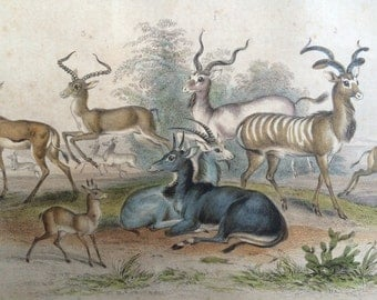 1852 Original Antique Hand-Coloured Engraving - Antelopes - Laddax, Koodoo, Pallah, Kevel Gazelle, Springbock, Salt's Takhaitze, Nyl Ghau