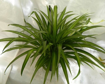 Hawaiian Spider Plant in 6 inch Hanging Pot