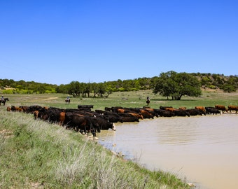 Thirsty Cattle