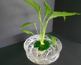 Floating Peace Lily Perfect for Fish Bowls and Aquariums