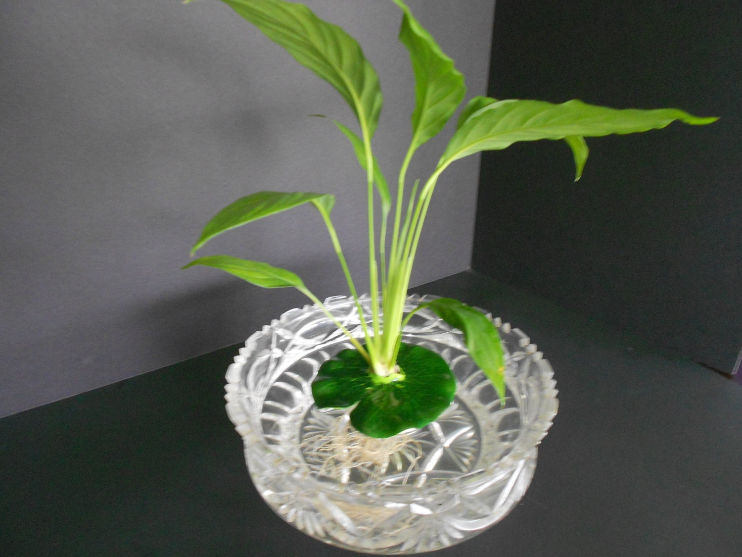 Flower vase with fish - Floating Peace Lily Perfect For Fish Bowls And Aquariums