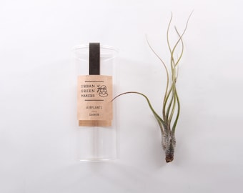 Butzii Air Plant in Jar - FREE Shipping