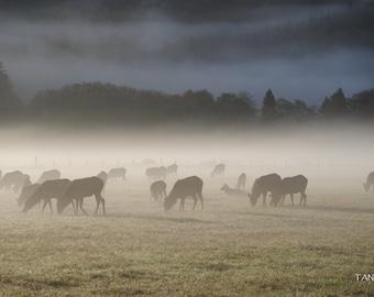 Forks, Washington Elk 1
