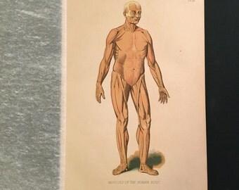 1890 Print - Muscles of the Human Body, Original Antique Print, Medical Curiosity