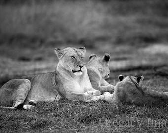 Animal Photography, Lion, Photo, Wildlife, Photography, Black And White, Safari, Africa, Baby, Animal, Photograph, Cub, Nursery, Wall Art