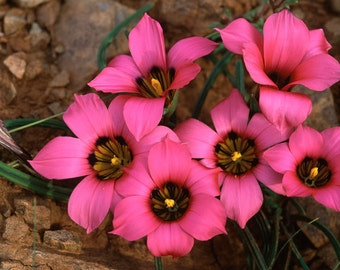 Romulea Subfistulosa 10 Seeds, A South African Bulbous Ornamental Garden Plant