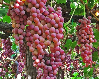 2 Flame - Grape Plant/Vine Red Seedless - Fall Shipping