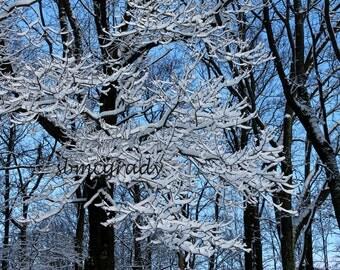 PHOTO PRINT: Snow Covered Tree, Blue Sky, Winter Scene