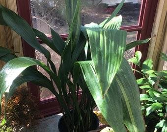 Cast-iron plant (Aspidistra elatior)