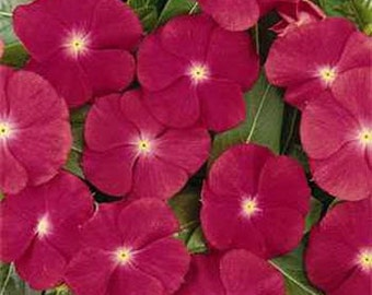 Vinca Rosea Dwarf  Periwinkle Flower Seeds/Little Linda/Annual   40+