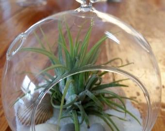Small hanging globe terrarium with Ionantha air plant