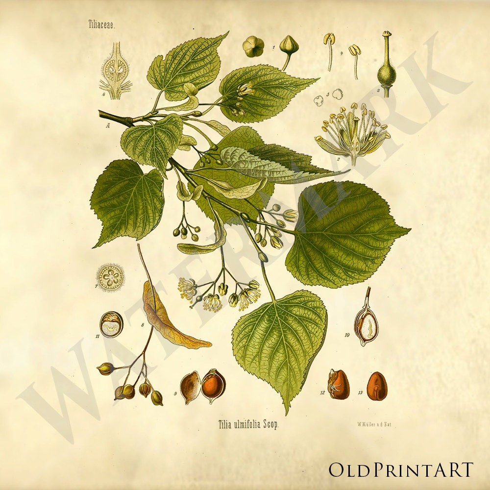 Vintage Medicinal Plant Poster Tilia Linden Baswood Lime