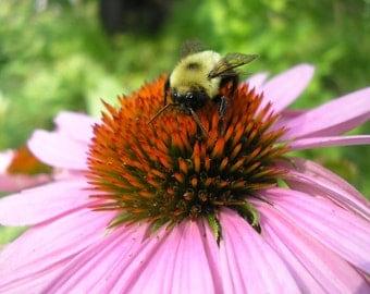 Bee on flower, Macro photography, Wildlife photography, Echinacea, Bumble bee, digital download