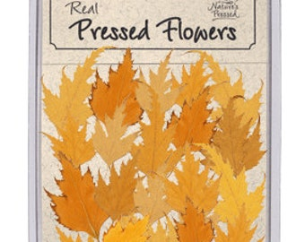 Pressed Fall Birch Leaves - 20 Pieces