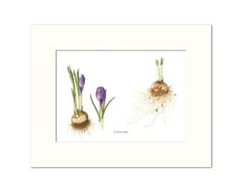 Crocus sp. Botanical Print by Heather Raeburn