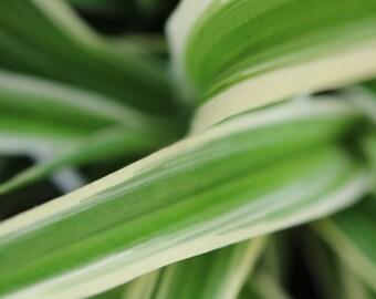 Spider Plant (Chlorophytum comosum) House Plant  1.5L Potted Plant.