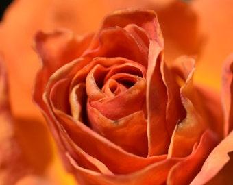 O8 - Blooming Orange Rose