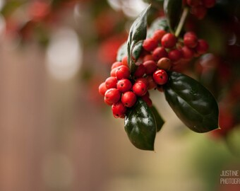 Holly Berries: WALL ART Fine Art Photography Red Green Bright Color Plant Botanical Garden Fruit Soft Light Nature