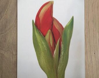 Amaryllis Awakening Card