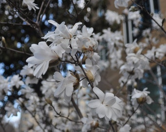 8x10 Photo - Flowering Tree - other sizes available