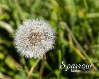 Dandelion, Summer Photography, Green