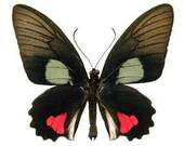 Real Parides vertumnus, spread for your project or laminated or unmounted