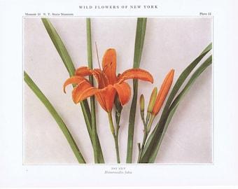 Botanical Prints.RARE.Botanic,Vintage.Antique.Genuine.1919.Wild Flower.New York.NYC.Floral.lily.orange.Art Collection.Classic.Mom.Dad.Botany