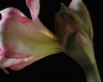 Peony - Flower still life  fine art photography