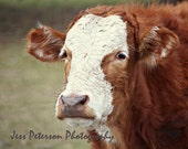 Reserved for LTLHOG - 20x24 Cow Photo Canvas Gallery Wrap