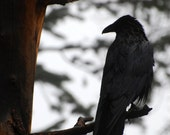 Pondering Raven - nature photograph - black bird forest wildlife nature colorado woodland art photo decor halloween