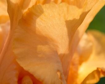 Fine Art Photograph - Iris 22