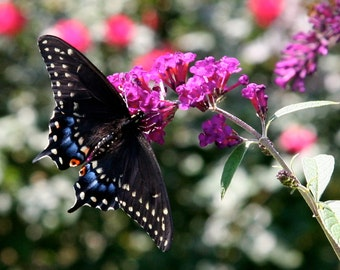 Black Swallowtail, photographic print
