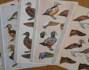Set of 5 Duck Prints, Vintage 1942 bird illustration, Harlequin Duck