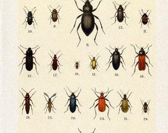 Antique Beetle Prints - Set of Three Prints - 1912 Vintage Prints  - SET 1 - Sheets 6, 12, 13