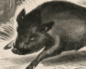 Antique Print of the Wild Boar - 1840s-1850s Vintage Print
