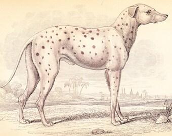 DALMATIAN . Parent of the Modern Coach Doga . Circa 1850 . Antique Mammalia Print Vol II . ORIGINAL old art engraving