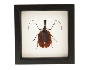 Framed Violin Beetle Entomology Science Display
