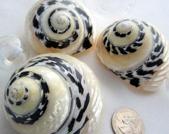 Beach Decor RARE Ribbed Pica Shell - Nautical Seashells,  Black & White Pica Shell -  1PC